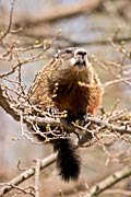 Groundhog - photos, Marmota monax