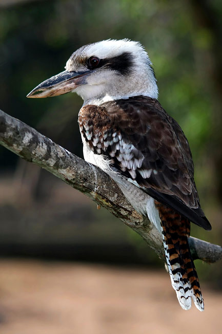 Laughing Kookaburra - photos, Dacelo novaeguineae