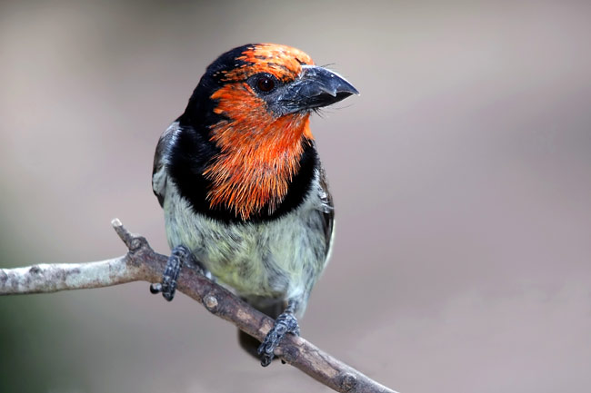 Black-collared Barbet - photos, Lybius torquatus