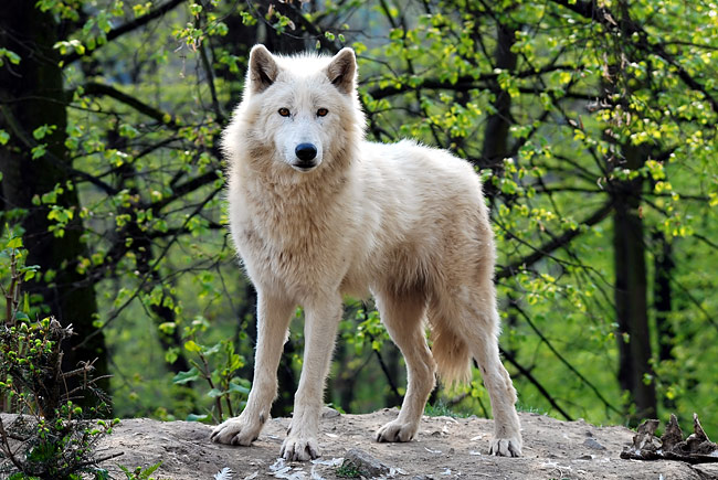 Arctic Wolf  - pictures