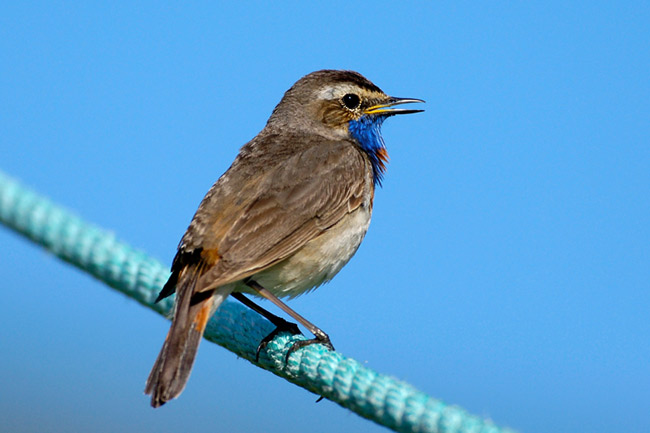 Bluethroat - photos, Luscinia svecica