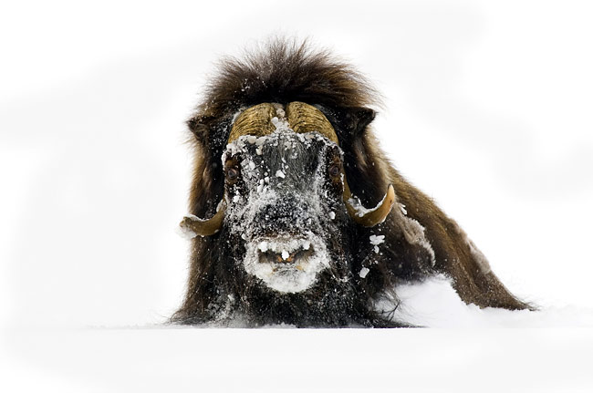 Muskox - photos, Ovibos moschatus