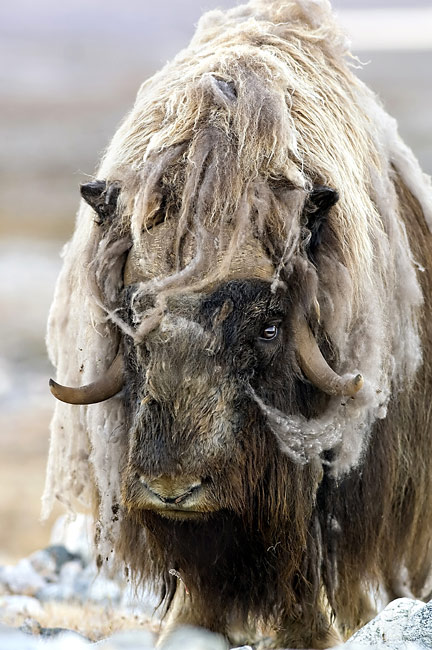 Muskox  - pictures
