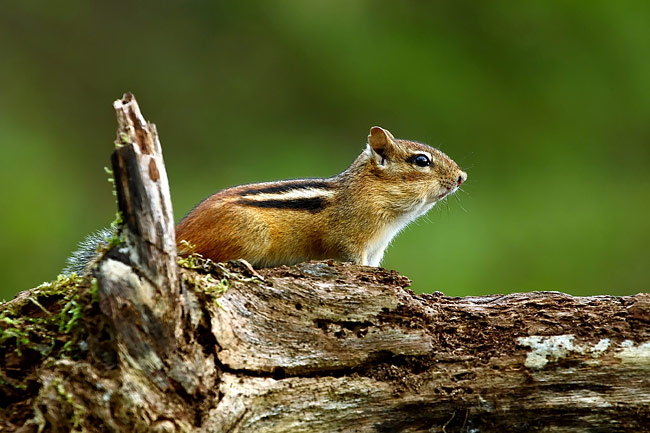 Eastern Chipmunk - photos, Tamias striatus