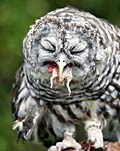 Barred Owl Eating Mouse  - pictures