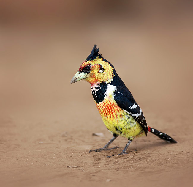 Crested Barbet  - pictures