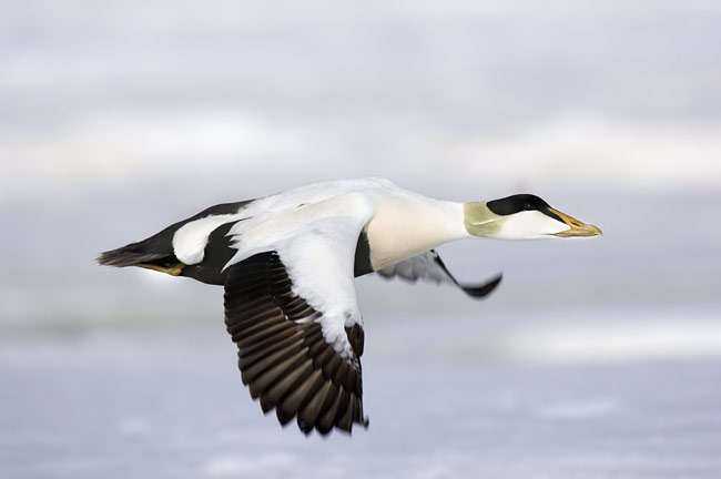 Common Eider - photos, Somateria mollissima
