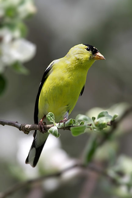 American Goldfinch - photos, Carduelis tristis