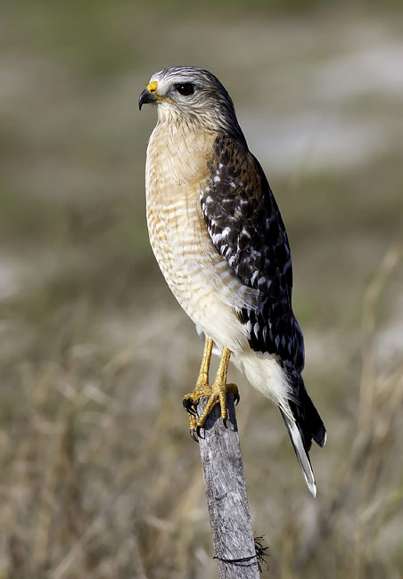 Red-shouldered Hawk - photos, Buteo lineatus