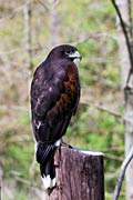 Harris' Hawk  - pictures
