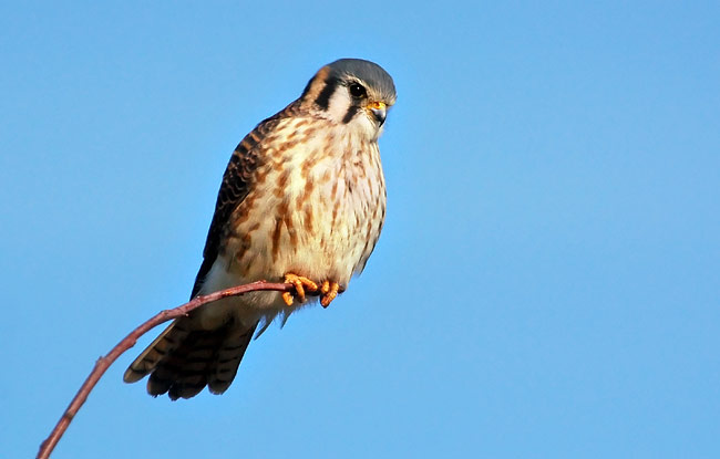 American Kestrel - photos, Falco sparverius