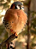 American Kestrel  - pictures