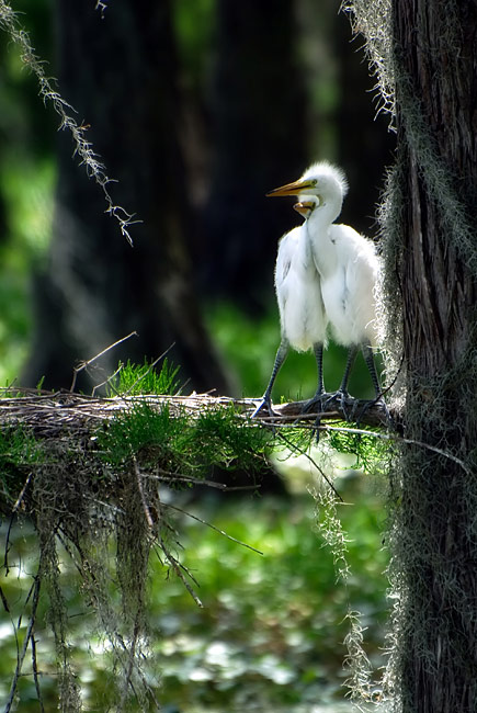 Great Egret - image gallery