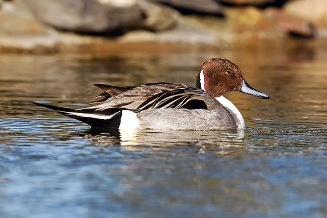 Northern Pintail  - pictures