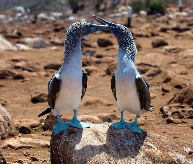 Blue-footed Booby  - pictures