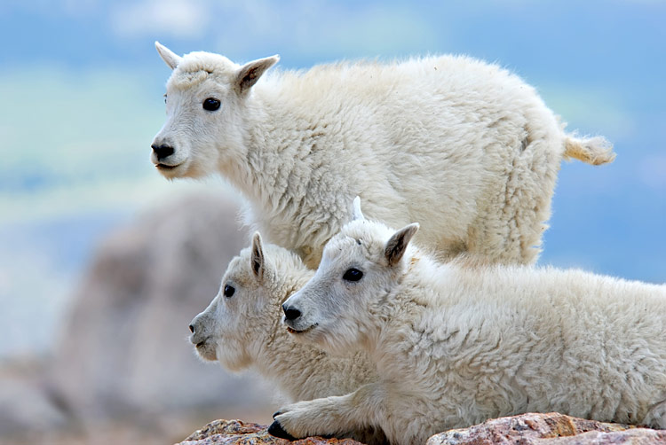 Mountain Goat  - pictures