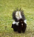 Striped Skunk  - pictures