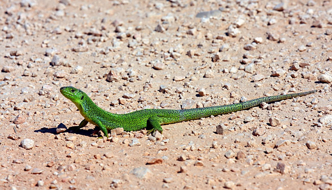 European green lizard - photos, Lacerta viridis