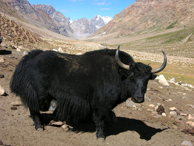 Yak  - pictures