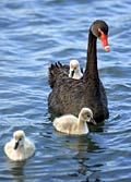 Black Swan - photos, Cygnus atratus