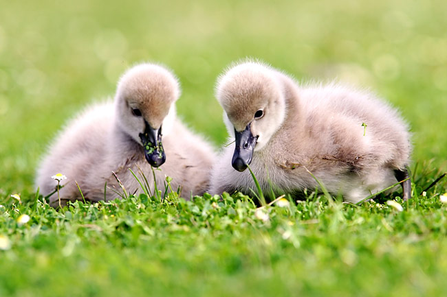 Photos - Black Swan Cygnets