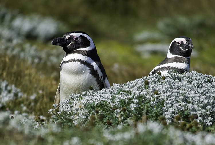 Magellanic Penguin - photos, Spheniscus magellanicus
