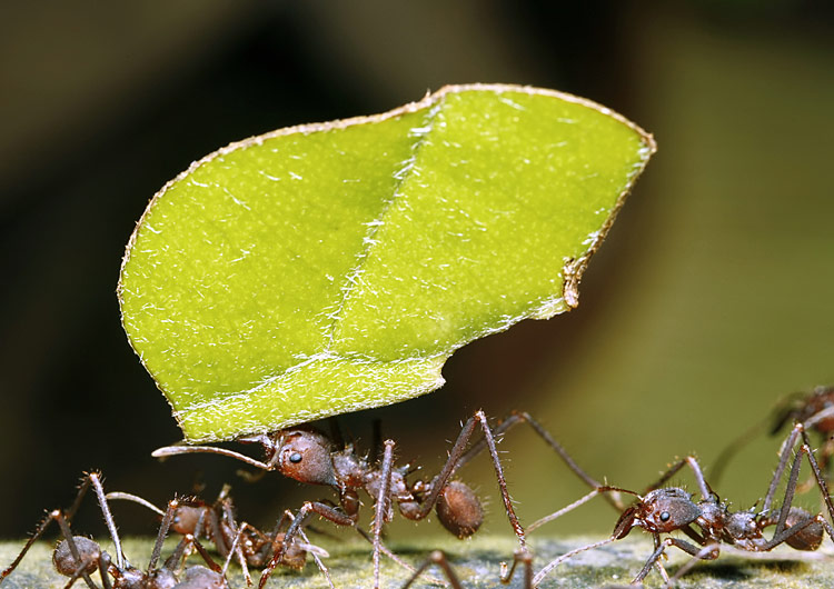 Leafcutter ant - photos