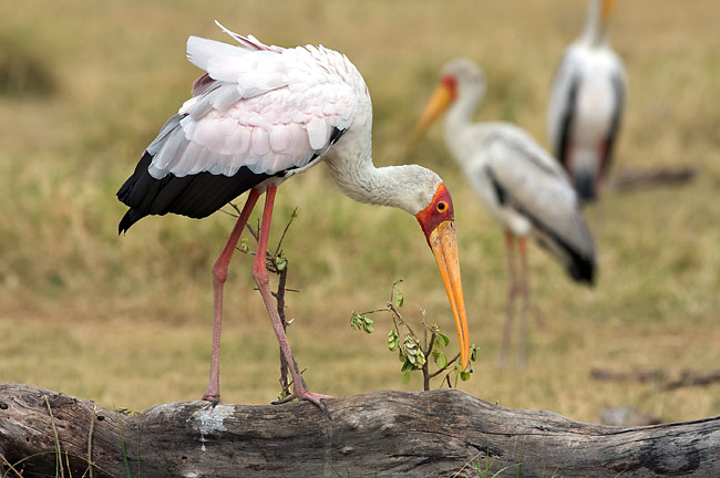 Yellow-billed Stork - photos, Mycteria ibis