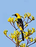 Scott's Oriole - photos, Icterus parisorum