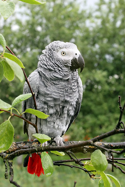African Grey Parrot - photos, Psittacus erithacus