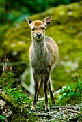 Sika Deer  - pictures