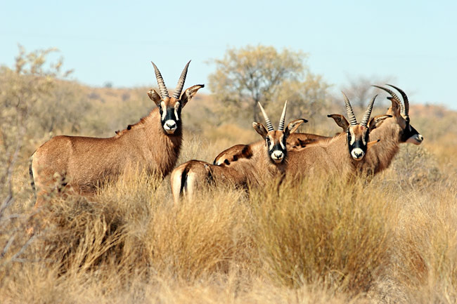 Roan Antelope  - pictures