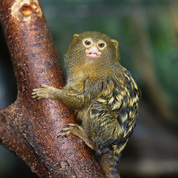 Pygmy Marmoset  - pictures
