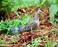 American Mourning Dove - photos, Zenaida macroura