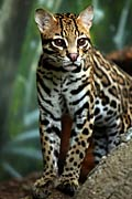 Ocelot - photos, Leopardus pardalis