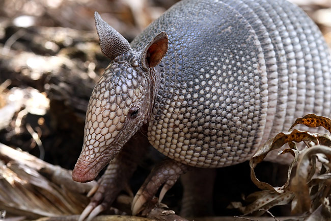 Nine-banded Armadillo  - pictures