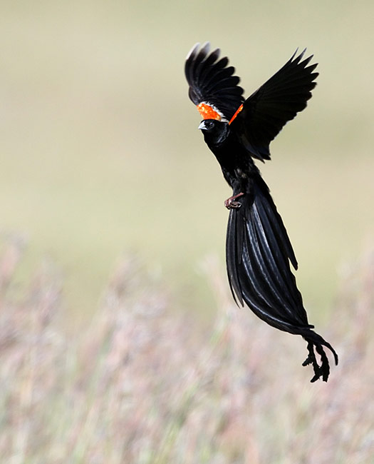 Long-tailed Widowbird  - pictures