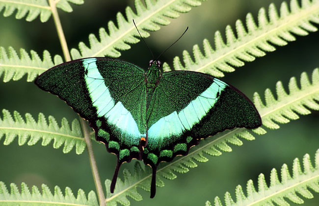Emerald swallowtail - photos, Papilio palinurus