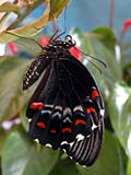 Orchard Swallowtail Butterfly - photos, Papilio aegeus