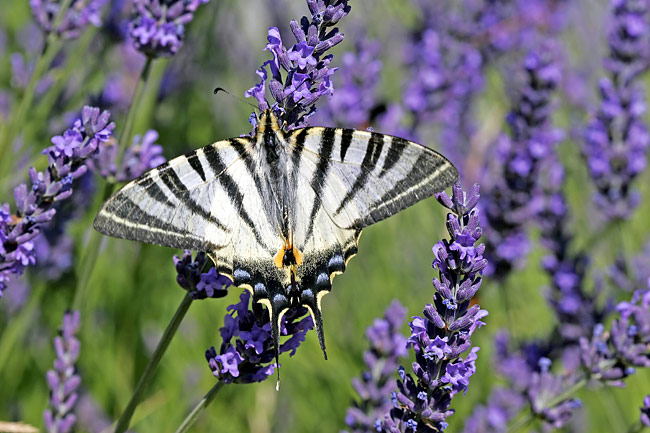 Scarce Swallowtail  - pictures