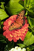 Gulf Fritillary  - pictures