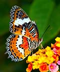 Leopard Lacewing  - pictures