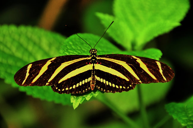 Zebra Longwing  - pictures