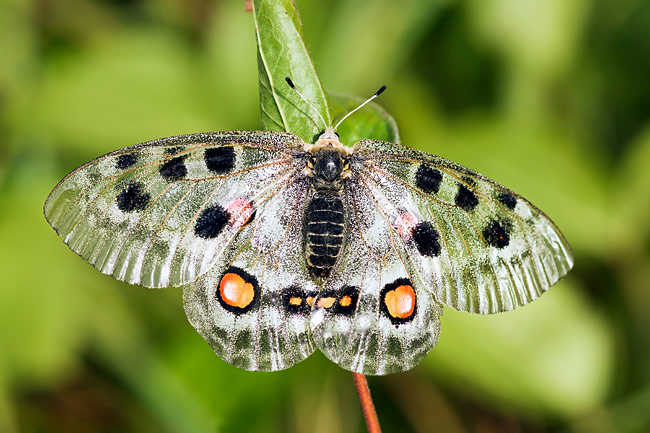 Nomion Apollo - photos, Parnassius nomion