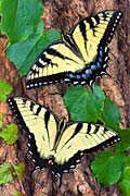 Western Tiger Swallowtail - photos, Papilio rutulus