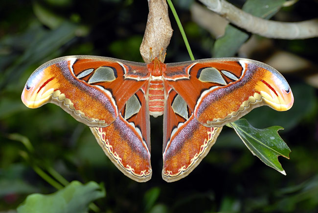 Atlas moth - photos, Attacus atlas