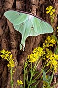 Luna Moth  - pictures
