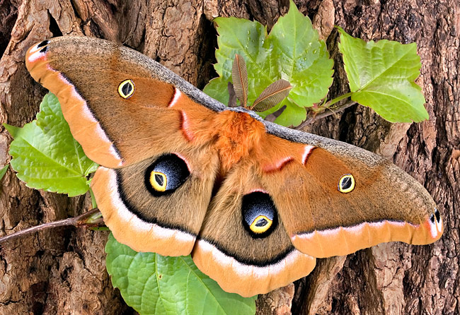 Polyphemus Moth - photos, Antheraea polyphemus