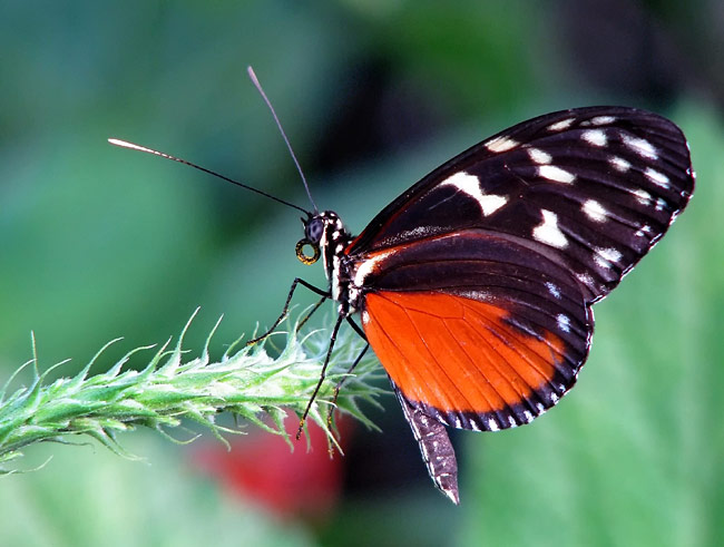 Tiger Longwing - photos, Heliconius hecale