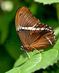 Rusty-tipped Page - photos, Siproeta epaphus